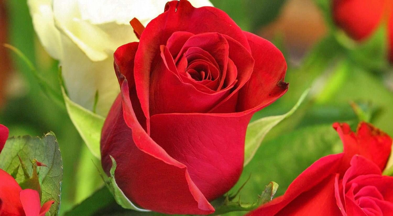 Regalar rosas en San Valentín