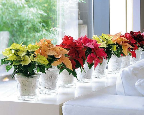Cómo decorar tu casa con Flor de Pascua en Navidad? | Flores a ...