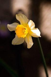 Leyendas de flores, el mito de Narciso
