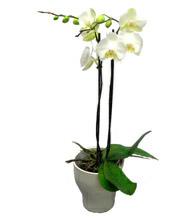 Flores a domicilio, la magia de las orquídeas para un día de amor