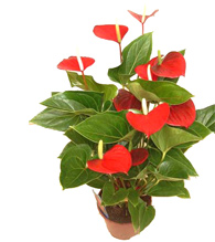 Anthurium Rojo en Maceta