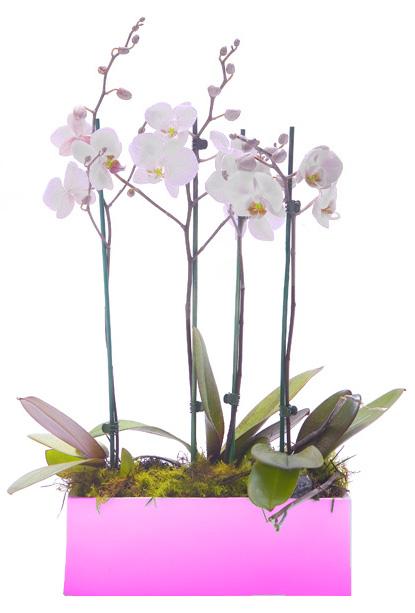 2 Orquídeas Phalaenopsis Blancas En Jardinera