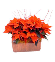 Poinsettias en Cesta